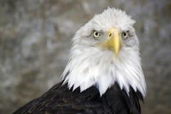 Griffon Eagle Lizenzfreie Stockbilder
