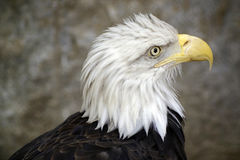 Griffon Eagle Immagine Stock Libera da Diritti