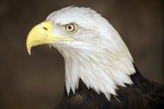 Griffon Eagle Fotografia Stock Libera da Diritti
