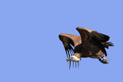 griffon fulvus gyps хищник Стоковое Изображение RF