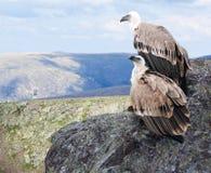Griffon Geier im Wildness Stockfotos