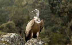Griffon Geier und natürliche Landschaft Lizenzfreies Stockbild