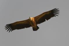 Griffon glissant dans un ciel Images libres de droits
