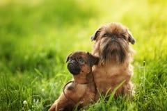 Griffon-Hundeherzchen Stockfoto
