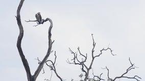 Griffon, o abutre preto, parque nacional, Índia video estoque