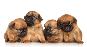 Griffon puppies on a white background Royalty Free Stock Photos