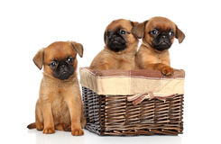 Griffon puppies on a white background Stock Images