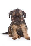Griffon puppy Stock Images
