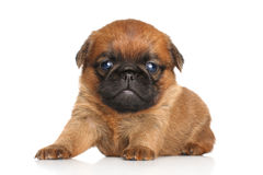 Griffon puppy Royalty Free Stock Images
