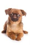 Griffon puppy Stock Image