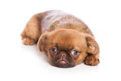 Griffon puppy Royalty Free Stock Image