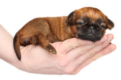 Griffon puppy lying in hand Stock Image
