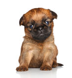 Griffon puppy on a white background Royalty Free Stock Photos