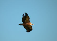 Griffon que desliza no céu azul Fotos de Stock