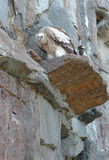 Griffon que senta-se na rocha Fotografia de Stock