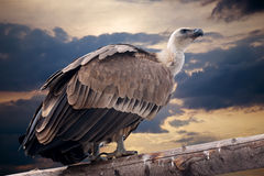Griffon sitting against dramatic sky Royalty Free Stock Photo