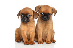 Griffon terrier puppies Royalty Free Stock Photos