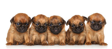 Griffon terrier Puppies over white Royalty Free Stock Image