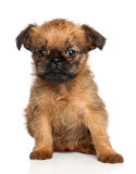 Griffon terrier puppy Royalty Free Stock Photos