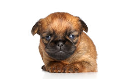 Griffon terrier puppy on a white Royalty Free Stock Photos