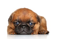 Griffon terrier puppy on a white background Stock Photo