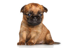 Griffon terrier puppy on a white background Stock Images