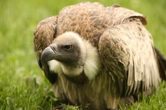 Free Griffon Vulture Royalty Free Stock Images - 10255869