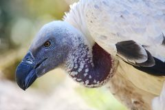 Free Griffon Vulture Stock Images - 12001474