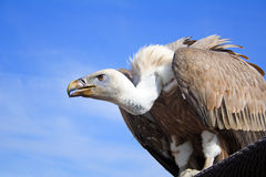 Free Griffon Vulture Stock Photography - 1281312