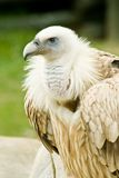 Griffon vulture. Young griffon vulture in zoo Stock Photos