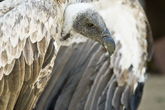 Griffon vulture. Royalty Free Stock Image