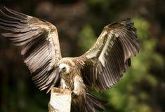 Griffon Vulture. Portrait of a Griffon Vulture landing on a tree stump Royalty Free Stock Image