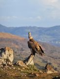 Griffon Vulture. Stock Images