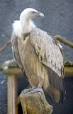 Griffon vulture 2 Stock Images