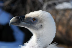 Griffon Vulture. On the tree branch Stock Photos