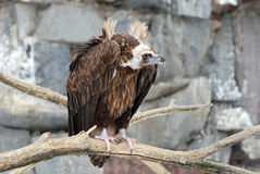 Griffon Vulture. On the tree branch Royalty Free Stock Photo