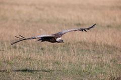Free Griffon Vulture Royalty Free Stock Photography - 23787857