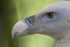 Griffon Vulture. Head of a Griffon Vulture stock photos