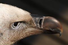 Griffon vulture Royalty Free Stock Photo