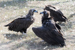 Griffon-vulture Stock Images
