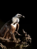 Griffon vulture. A griffon vulture isolated on black background stock photos