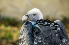 Griffon vulture Royalty Free Stock Photos