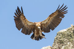 Griffon Vulture close-up. Extremadura spain Stock Photography