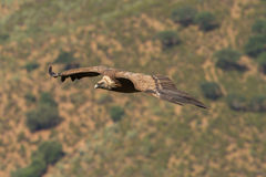 Griffon Vulture. Close-up extremadura spain Royalty Free Stock Photography