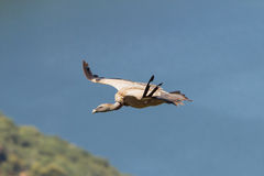 Griffon Vulture. Close-up extremadura spain Royalty Free Stock Images