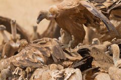 Griffon Vulture. Close-up extremadura spain Stock Photo