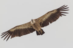 Close-up Griffon Vulture Royalty Free Stock Photos