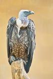 Griffon Vulture Stock Foto's