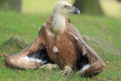 Griffon Vulture Fotografia Stock