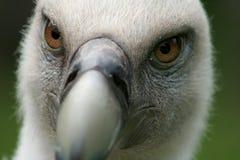Griffon Vulture Foto de Stock